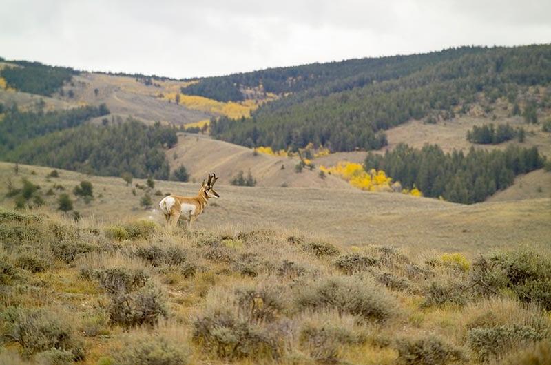 Antelope standing in US grasslands