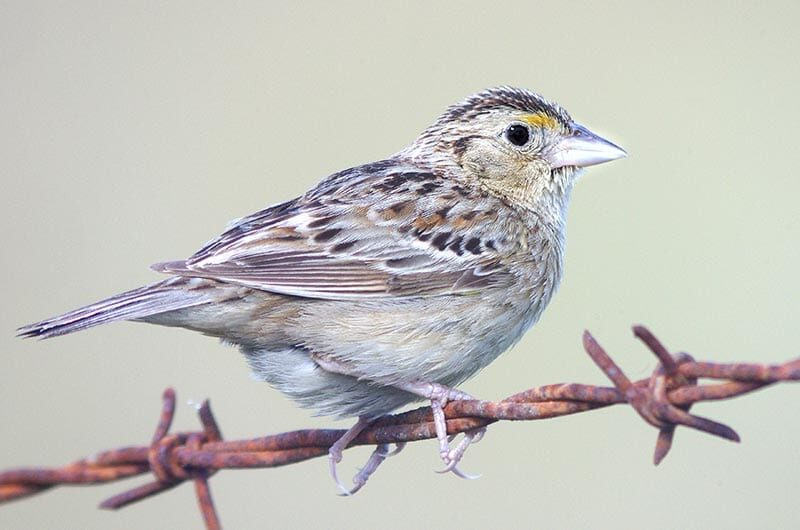 A grasshopper sparrow on rusty barbed wire.