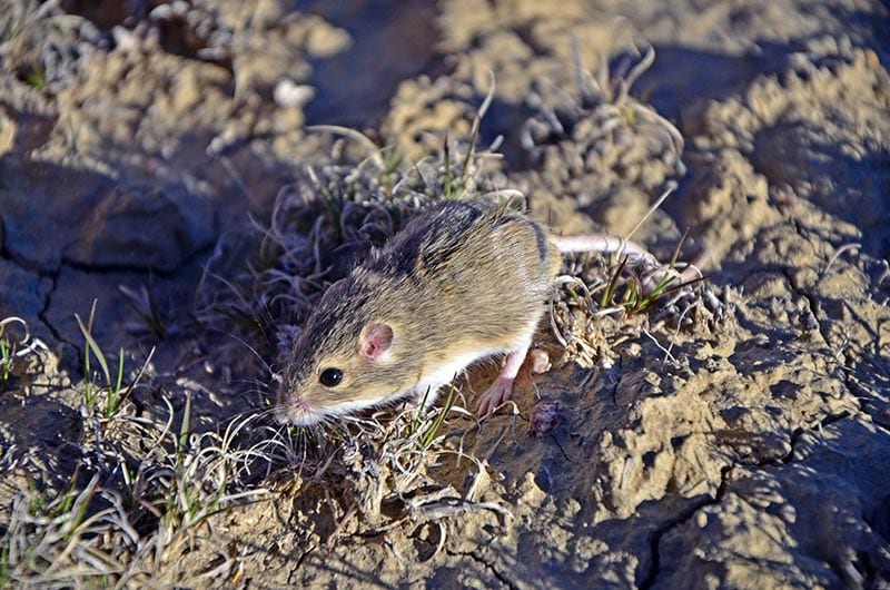 Olive-backed Pocket Mouse on short grasses and dirt.