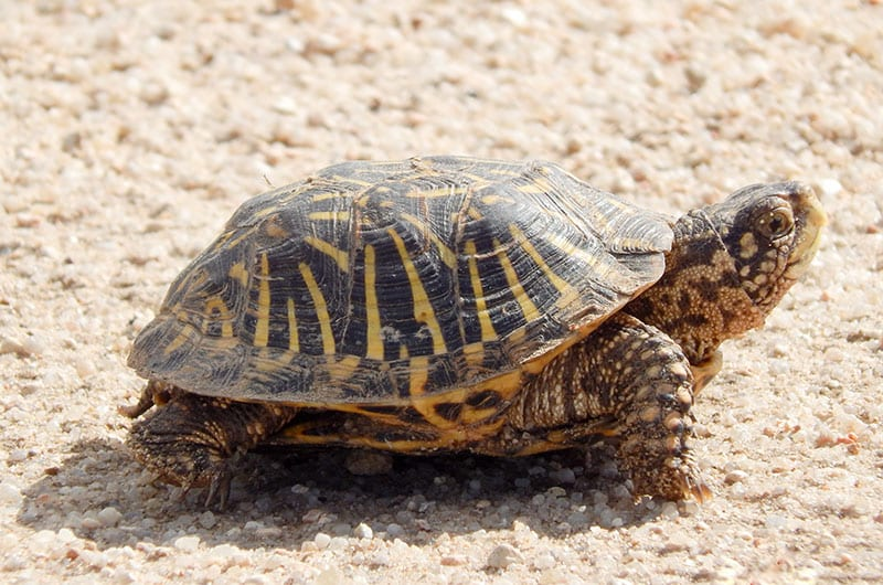 An Ornate Box Turtle with head lifted up on sandy ground.