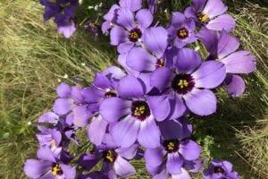 Close up of Showy Prairie Gentian flowers in bloom.