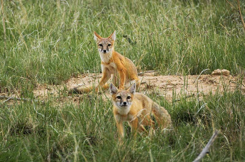 A pair of swift foxes on a mound of dirt surrounded by grasses.