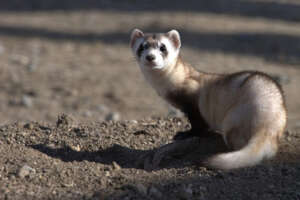 A black-footed ferret looking back at the photographer.