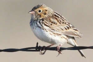 A Baird's sparrow perched on a barbed wire.