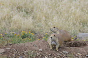 Two black-tailed prairie dogs on a mound of dirt near a burrow entrance surrounded by prairie grassland.
