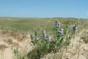 Blowout penstemon in bloom on a sandy ridge with prairie in the background.