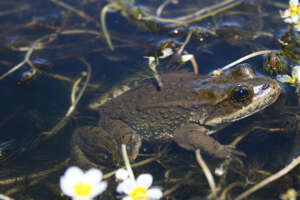 Columbia spotted frog rests among underwater vegetation with its head poking above the water's surface.