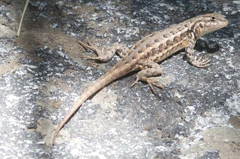 A common sagebrush lizard on a rock.