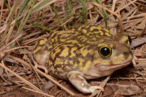 A Couch's spadefoot toad among dried grasses and leaves.