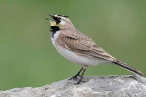 A horned lark singing.