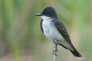 An eastern kingbird perched on a thin branch.