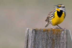 Eastern meadowlark with beak open perched on a post.