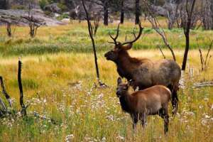 A pair of elk, one with antlers, stand in an open meadow with sparse thin trees.