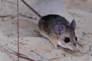 A closeup of a Florida mouse on sand.