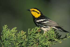 A golden cheeked warbler on pine tree leaves.