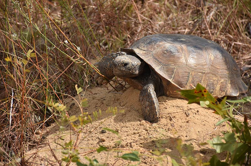 A gopher tortoise walks on a mound of dirt surrounded by dry vegetation.