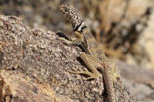 A Great Basin collared lizard