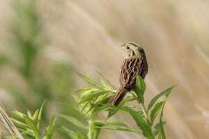 A Henslow's sparrow