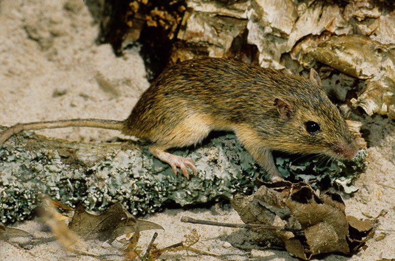 a hispid pocket mouse