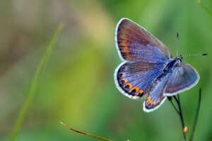 A female Karner blue on a flower.