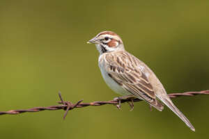 A lark sparrow perched on rusty barbed wire.