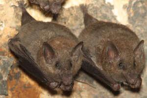 A pair of lesser long-nosed bats