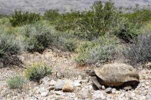 A Mojave desert tortoise among a rocky ground and shrubs.