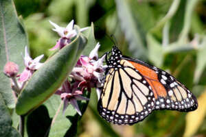 Monarch Butterfly perched on a milkweed flower.