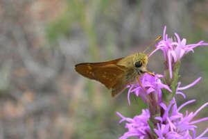 A Pawnee montane skipper flowers.
