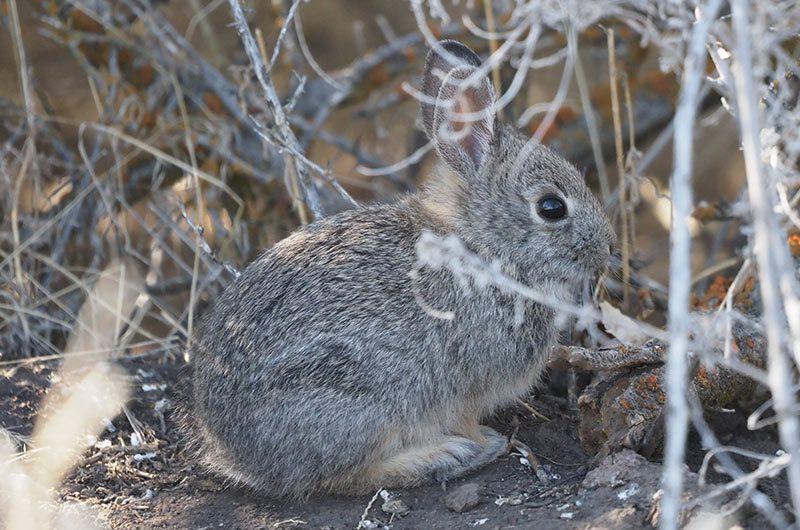 A pygmy rabbit sitting among dry shrubs.