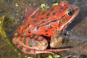 A close up of a red-legged frog sitting in shallow water.