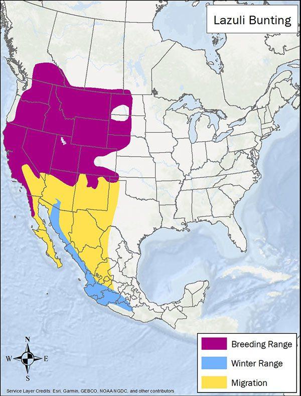 Lazuli bunting range map. Breeding range is much of western US. Migration range is southwest US and Mexico. Winter range is coastal Mexico.