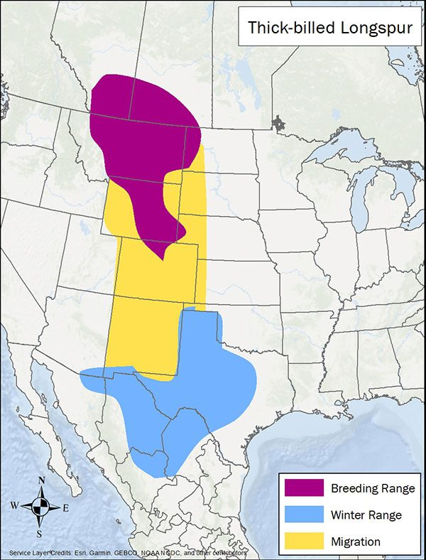 Thick-billed longspur range map. Breeding range is Montana and neighboring Canada and US states. Migration range is south through New Mexico. Winter range is Texas and northern Mexico.