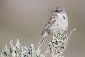 A sagebrush sparrow