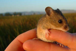 A salt marsh harvest mouse being held by a human hand.