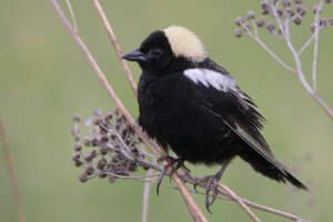 A bobolink perched on small twigs with dried flower heads.