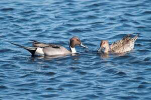 A pair of northern pintails