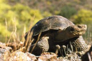 A Sonoran Desert Tortoise moves along rocks and shrubs.