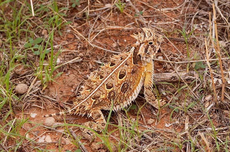 Texas short-horned lizard on raised legs among grasses.