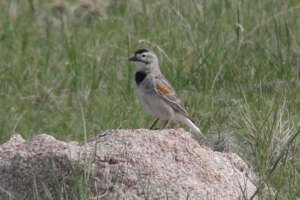 A thick-billed longspur perched on a rock surrounded by grass.
