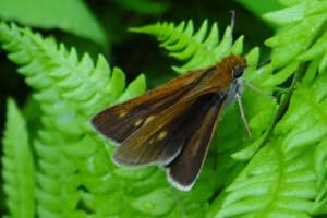 A two-spotted skipper