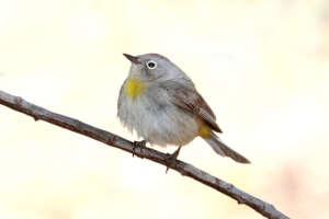 A Virginia's warbler