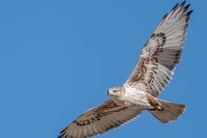 A view from below of a ferruginous hawk in flight.