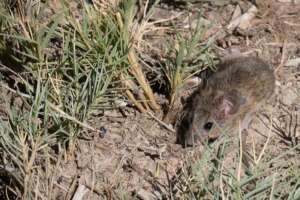 A western harvest mouse on the ground among grasses.