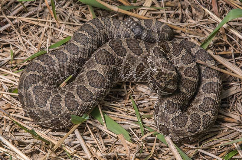 A western mass rattlesnake partially coiled on leaves.