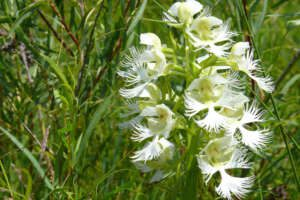 An eastern prairie fringed orchid in bloom.