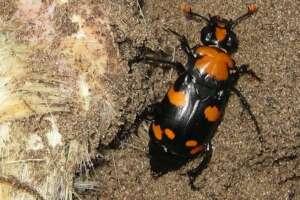A closeup of an American burying beetle in dirt.