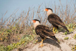 A pair of crested caracaras on a small sand mound with vegetation.