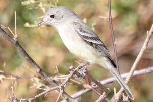 A gray flycatcher