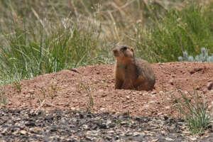A Gunnison's prairie dog